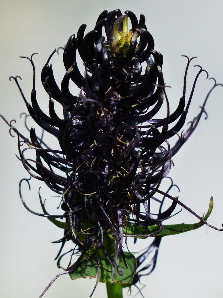 black-devils-claw-181694
